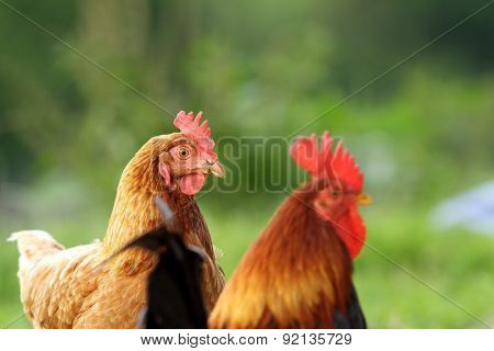 Hen And Rooster Over Green Background