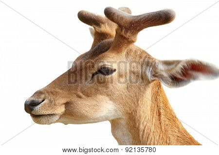 Isolated Portrait Of  Young Fallow Deer Buck