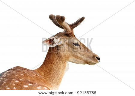 Isolated Portrait Of Fallow Deer Stag