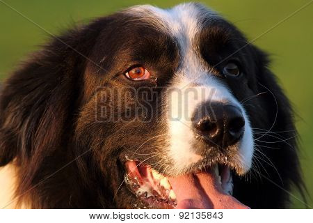Portrait Of Romanian Shepherd Dog
