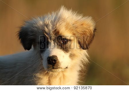 Shepherd Dog Puppy Portrait At Dawn