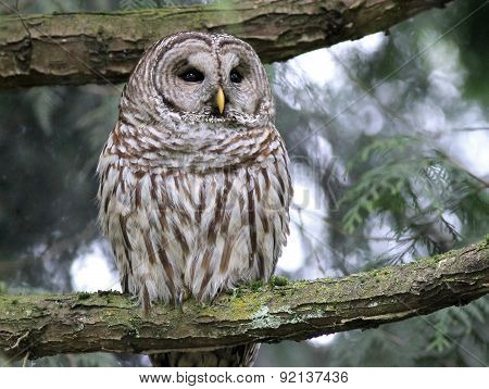 Barred Owl Deep in Thought