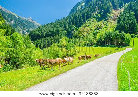 Alpine landscape road, green pastures and cows