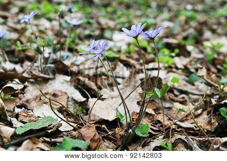 Blossoming Hepatica
