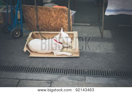 Bull Terrier In Cardboard Box At Market