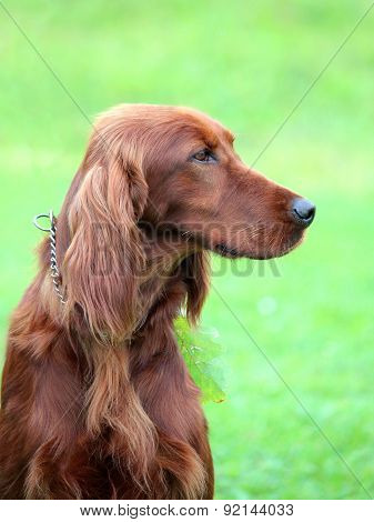 Typical Irish Red Setter In The Garden