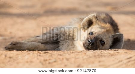 Tired Hyena Sleep On Dirt Road In The Early Morning
