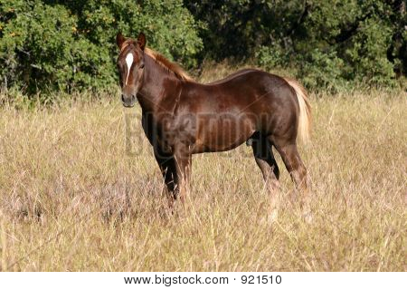 Brown Colt
