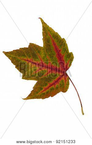 Single Leaf Collection Maple