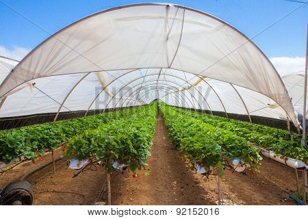 Cultivation On Greenhouse