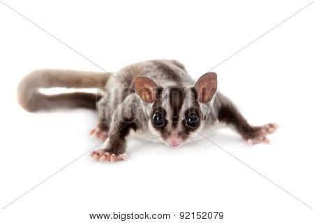 Sugar glider, Petaurus breviceps, on white