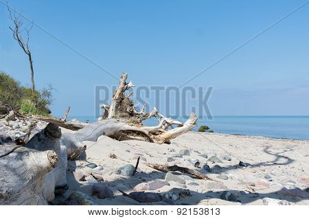 Fallen Tree With Roots Bleached Out On The Baltic Sea Beach Against Blue Sky