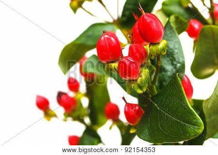 Fruits Of Hypericum Plant Close Up With Copyspace