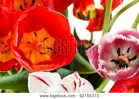 Natural Red, White, Pink Tulip Flowers In Posy