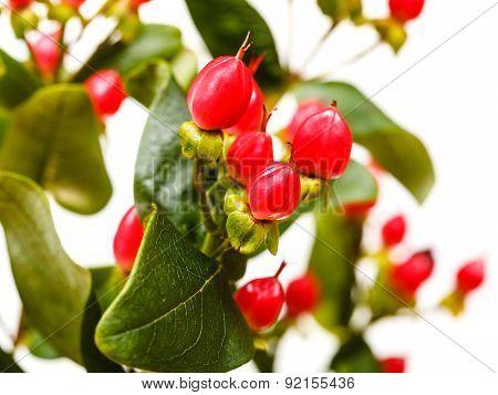 Red Fruits Of Hypericum Flower