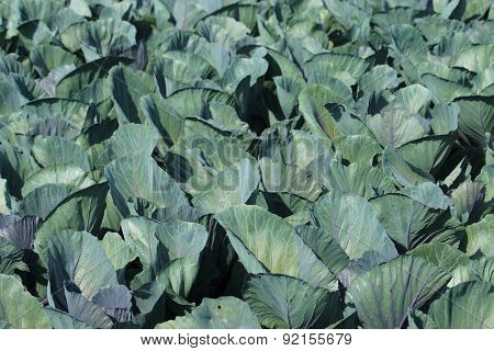 Organic Cabbages