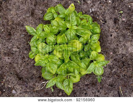 Basil organic plant in garden Ocimum basilicum