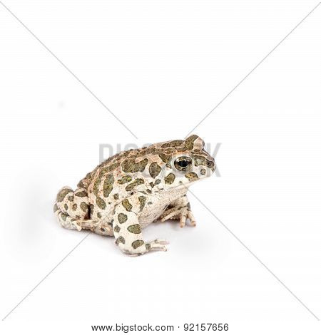 The Egyptian green toad on white
