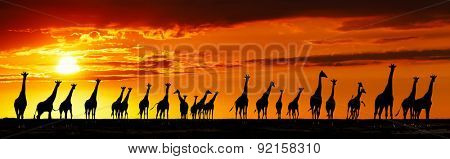 Herd of giraffes in african savanna at sunset