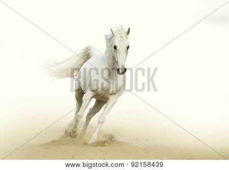 White Horse Gallop In A Desert