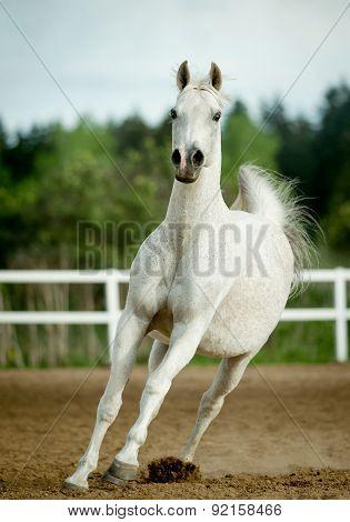 White Horse Runs Forward In Summer Paddock