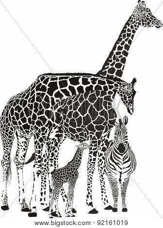 Three giraffes and zebra