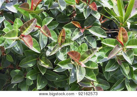 Bright Colorful Spring Ficus Background