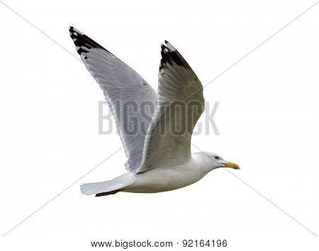 photo of European herring gull isolated on white background