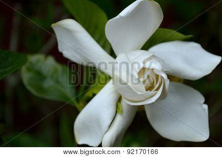Gardenia Flowering