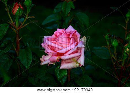 Beautiful Rose In Full Blossom