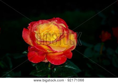 Beautiful Rose In Full Blossom