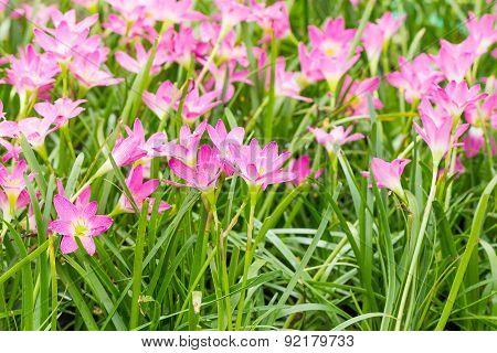 Fairy Lily  Flower In Garden