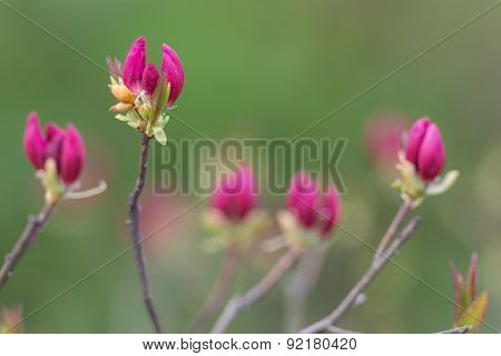 Rhododendron On Green Background