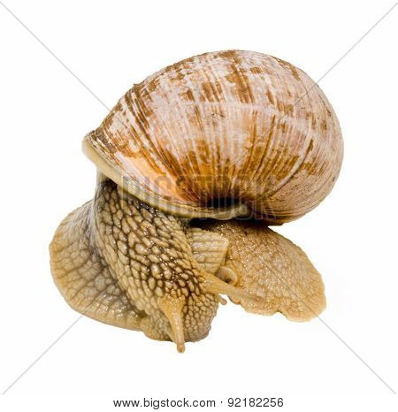 Snail Isolated On White Background. Close-up View.