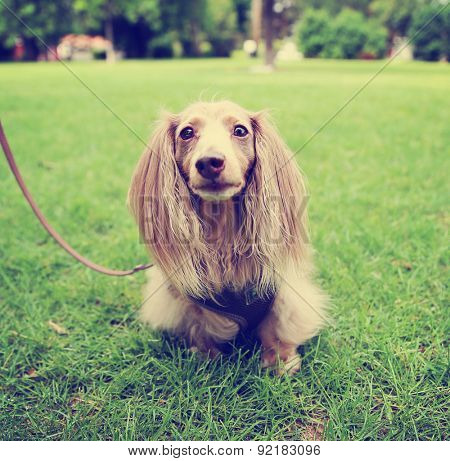 a miniature long haired dachshund with isabella coloring sitting in the grass in a local park toned with a retro vintage instagram filter