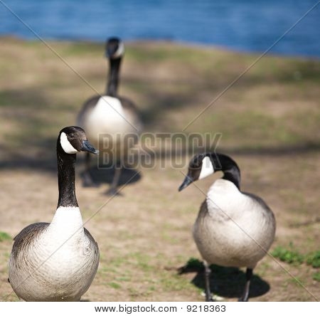 Three Geese by Lake