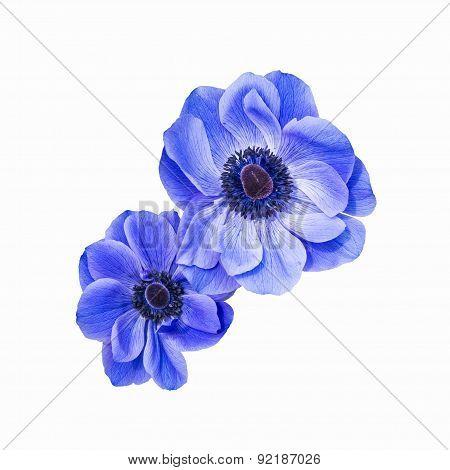 Blue Anemone Coronaria Isolated