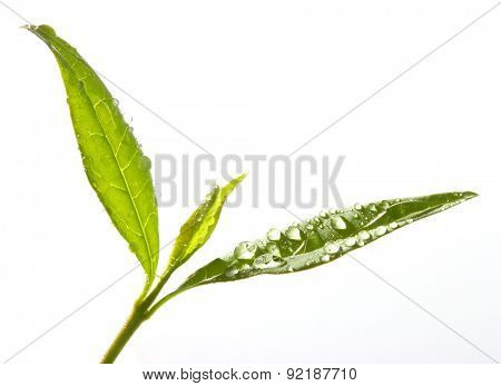 Tea tree (Thea sinensis). The leaves have been used in alternative medicine and other medical systems to treat asthma, angina pectoris, peripheral vascular disease, and coronary artery disease.