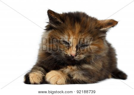 Cute Tortie Kitten Lies With Closed Eyes On White Background