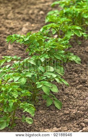 Row Of Green Potato Plants In Cultivated Vegetable Plantation Field
