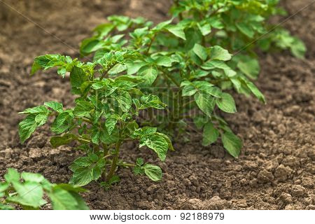 Row Of Green Potato Plants In Cultivated Vegetable Plantation Fi
