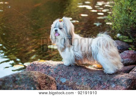 Shih-tzu dog standing on stone on lake coast.