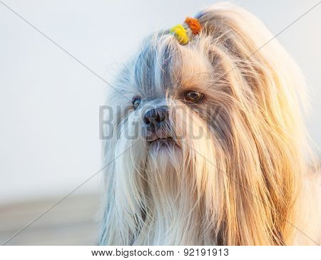 Shih-tzu dog close-up outdoors portrait.