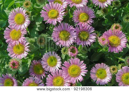 Pink Flowerbed