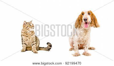 Russian Spaniel and cat Scottish Straight