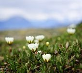 pic of rocky-mountains  - Alpine meadow with mountain avens flowers blooming in Jasper National Park Canada - JPG