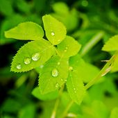 foto of raindrops  - closeup of green leaves rose with raindrops in nature - JPG