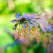 pic of barberry  - beautiful blooming twig of european barberry  - JPG