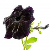 foto of petunia  - beautiful blooming dark petunia flower is isolated on white background - JPG