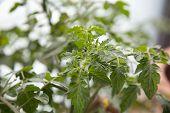 picture of tomato plant  - cherry tomato blossom sprouts - JPG
